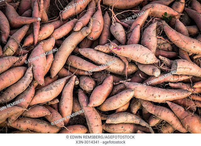Pile of harvested sweet potatoes, Maryland, USA