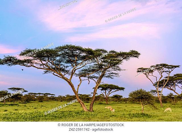 Thomson's gazelle (Eudorcas thomsonii) and Umbrella thorn acacia, also known as umbrella thorn and Israeli babool (Vachellia tortilis
