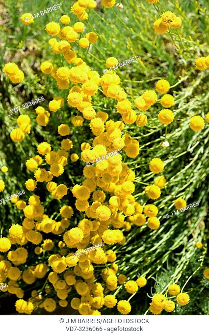 Holy flax (Santolina rosmarinifolia) is an evergreen subshrub native to south Europe. Flowering plant