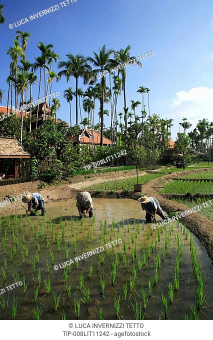 Thailand, farmers working in rice field