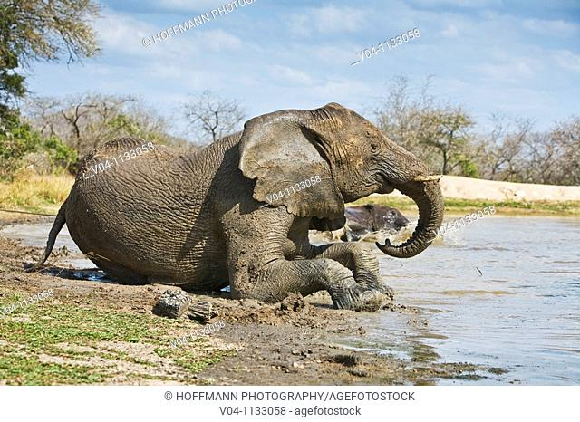 An african elephant (Loxodonta africana) taking a mud bath at a waterhole in South Africa