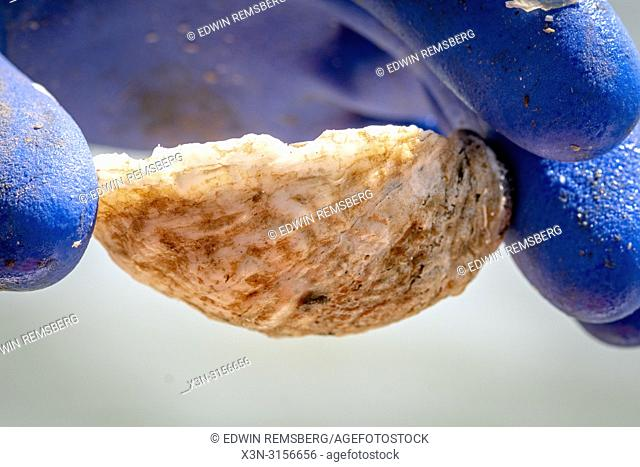 A close up of a farmed Oyster