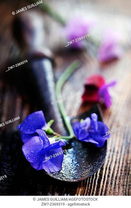 Sweet Pea flowers with hand trowel on wet wooden garden bench
