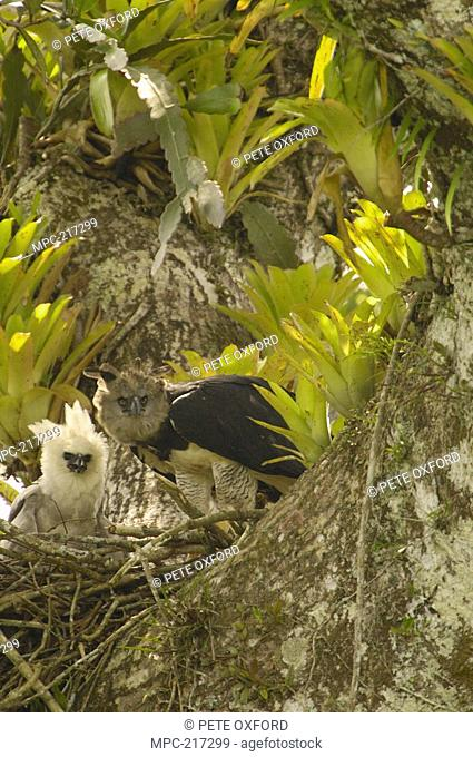 Harpy Eagle Harpia harpyja, mother with five month old chick in nest on Kapok or Ceibo tree Ceiba trichistandra, Aguarico River drainage, Amazon rainforest