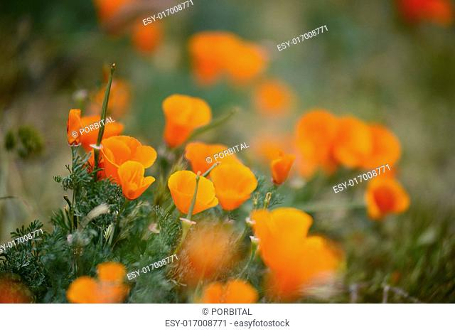 california poppies at antelope valley poppy reserve