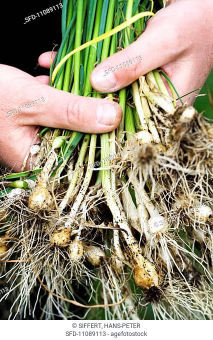 Wild garlic Allium vineale
