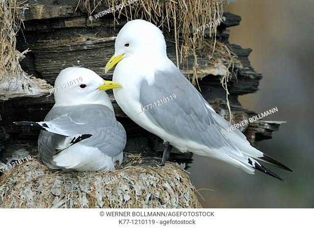 Kittiwake (Rissa tridactyla), couple at the nest, Norway