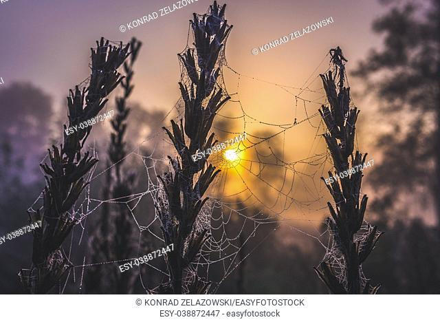 Spider's web on a meadow in Sochaczew County on the edge of Kampinos Forest, large forests complex in Masovian Voivodeship of Poland