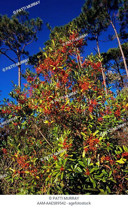 Dahoon Holly (Ilex cassine) in slash Pine Flatwoods, St Marks NW Refuge, FL