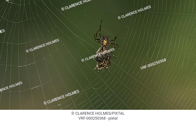 A female Spined Micrathena (Micrathena gracilis) orb weaver spider spins its orb shaped web