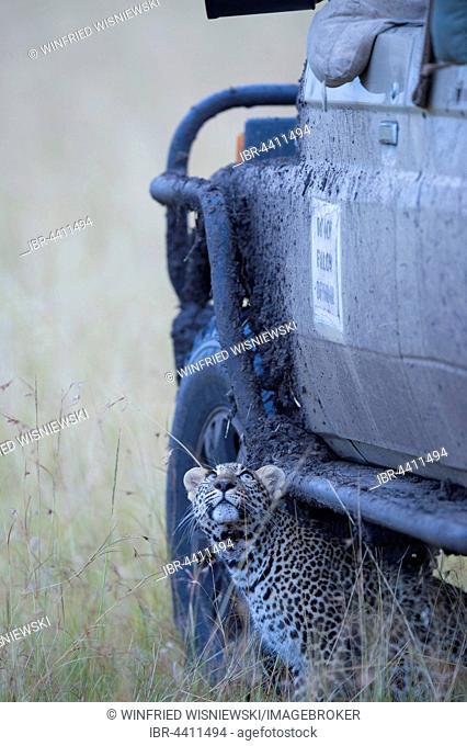 Leopard (Panthera pardus), cub hidden under a tourist car. Masai Mara Preserve,, Kenya