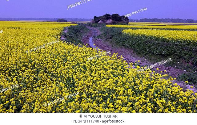 A mustard field Bangladesh
