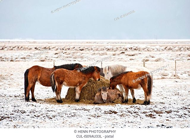 Icelandic horses feeding in snow covered field, Iceland