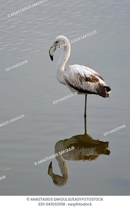 Greater Flamingo (Phoenicopterus roseus), Greece