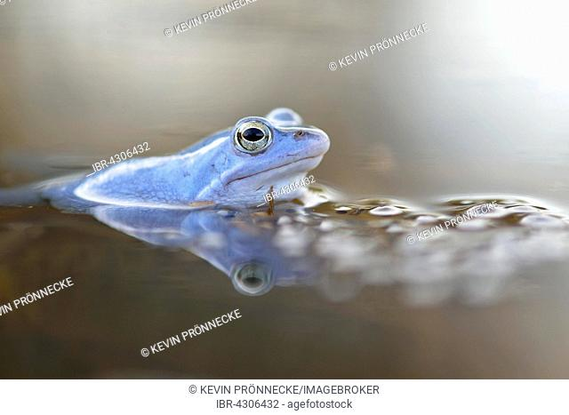 Moor frog (Rana arvalis), blue coloured male with spawn, during mating season, in spawning waters, Elbe, Saxony-Anhalt, Germany