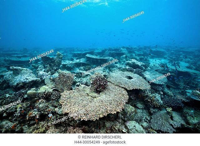 Bleached Corals on Reef Top, North Male Atoll, Maldives