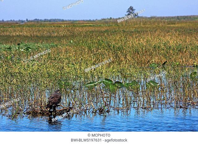 everglade kite Rostrhamus sociabilis, sitting on branch in wetland, USA, Florida, Lake Kissimmee