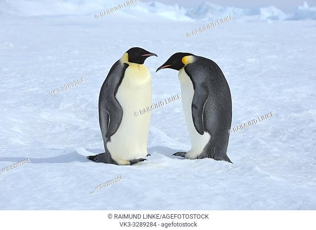 Emperor penguins, Aptenodytes forsteri, Two Adults, Snow Hill Island, Antartic Peninsula, Antarctica