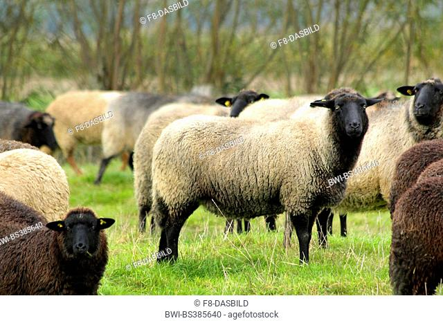 Pomeranian coarsewool (Ovis ammon f. aries), herd on a pasture, Germany, Lower Saxony