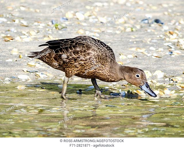 Adult brown teal, Anas chlorotis, swimming in Matapouri Estuary. Northland, New Zealand