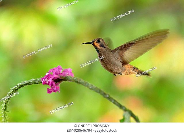 Hummingbird Brown Violet-ear, Colibri delphinae, flying