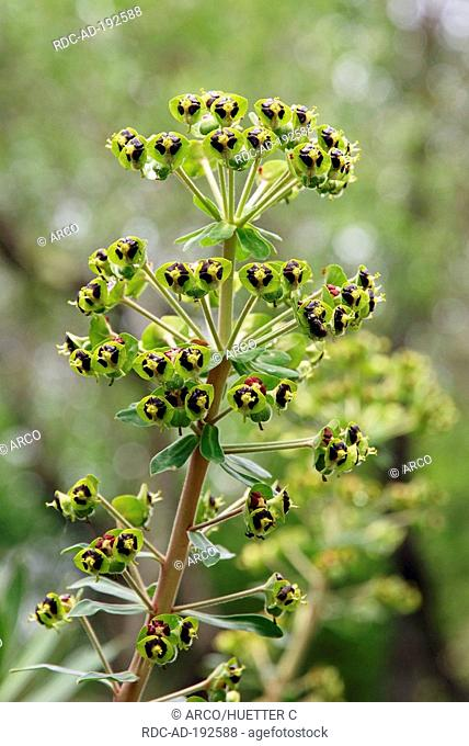 Mediterranean Spurge, Provence, Southern France, Euphorbia characias
