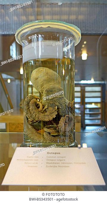 common octopus, common Atlantic octopus, common European octopus (Octopus vulgaris), prepared octopus in a glass cylinder