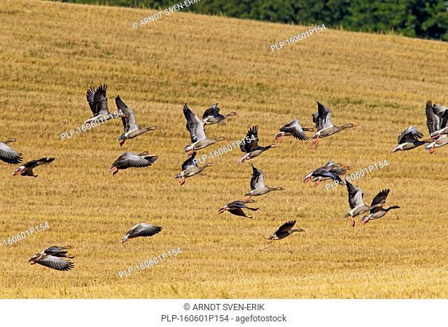 Greylag goose flock / graylag geese (Anser anser) taking off from stubblefield in summer
