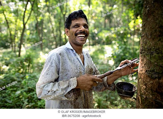 Smiling worker on a natural rubber plantation, standing next to a Rubber Tree (Hevea brasiliensis), Peermade, Kerala, India