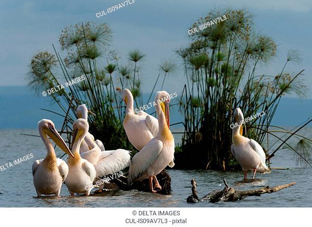 Great white pelicans (Pelecanus onocrotalus), Lake Naivasha, Kenya, Africa