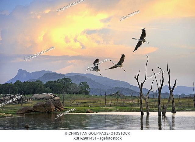 flight of grey heron (Ardea cinerea) over the Senanayake Samudraya Lake, Gal Oya National Park, Sri Lanka, Indian subcontinent, South Asia