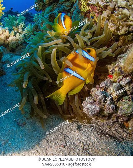 Clown fish Amphiprion bicinctus. Red Sea, Sharm el-Sheikh, Egypt