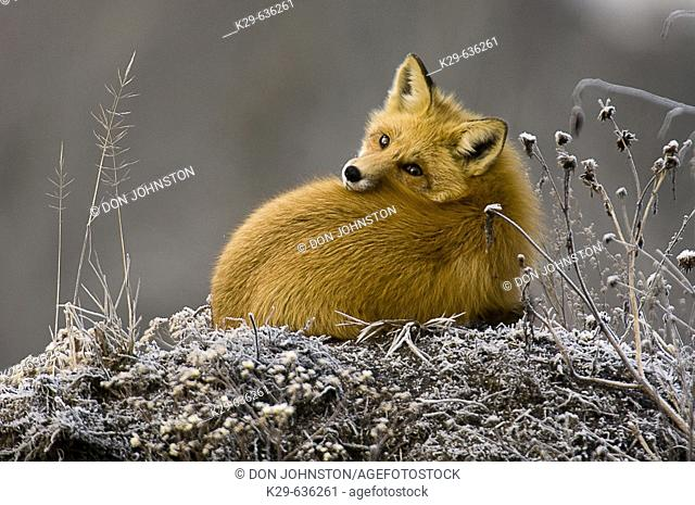 Red fox (Vulpes vulpes) resting on frosted mound of earth