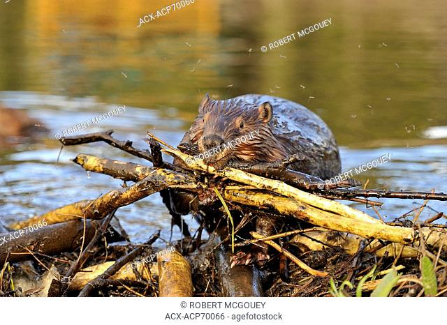 An adult beaver 'Castor canadenis' carring a load of sticks up on to his beaver dam