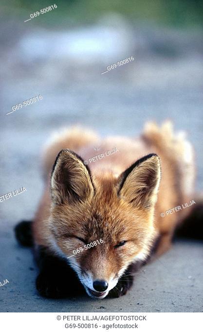 A fox cub (Vulpes vulpes) laying on a gravelled road. Marsliden. Vasterbotten. Sweden