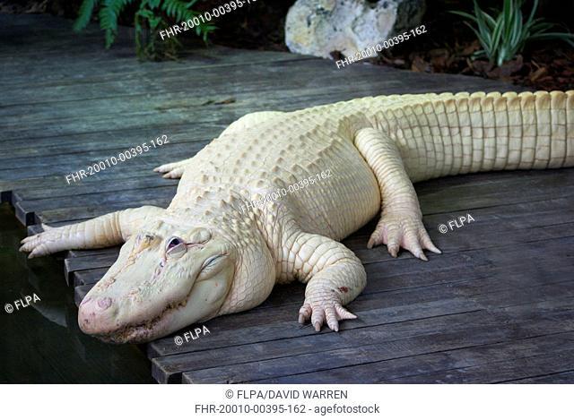 American Alligator (Alligator mississipiensis) leucistic adult, Florida, U.S.A., June (captive)