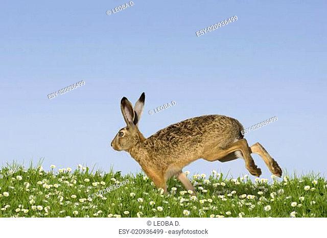 Osterhase rennt über Wiese