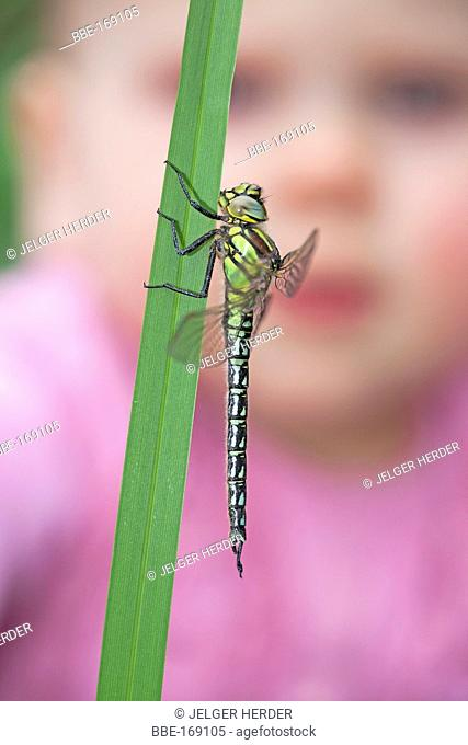 photo of a hairy dragonfly on reed