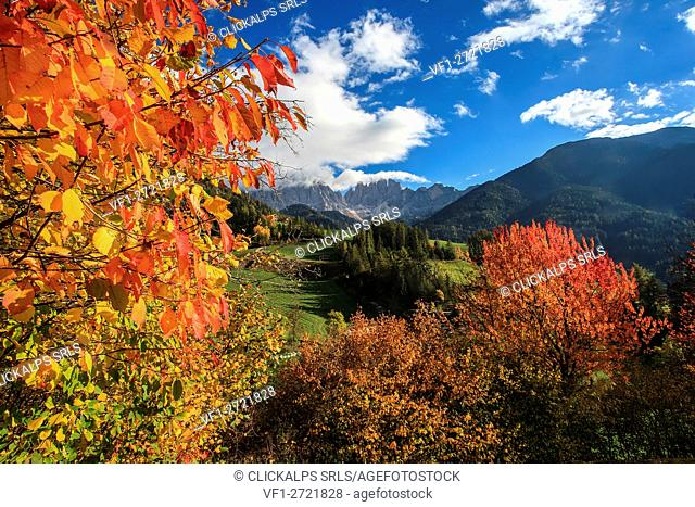Funes valley, autumn colors a Santa Magdalena, in the background the Odle group, Trentino alto Adige, Italy