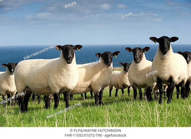 Domestic Sheep, Suffolk crossbreed ewes, flock standing on coastal pasture, Wales, september