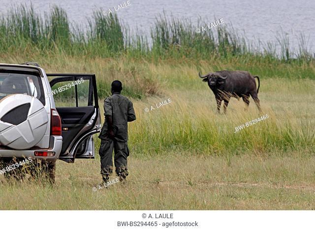 African buffalo (Syncerus caffer), single animal and parkranger is standing beside the car, Uganda, Murchison Falls National Park