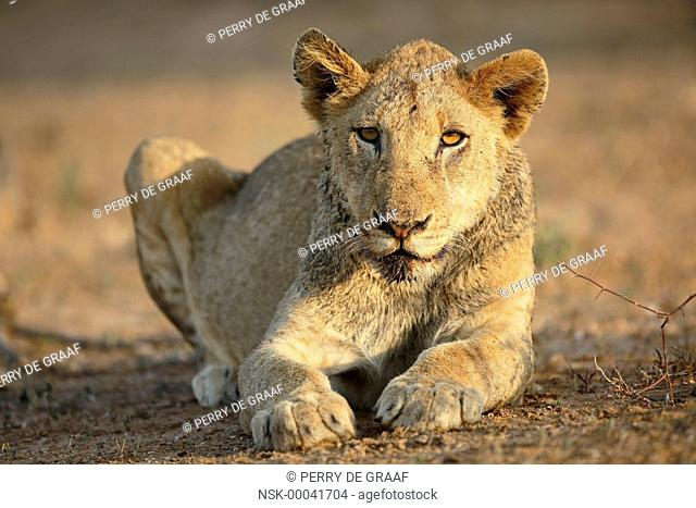 Lion (Panthera leo) sub-adult resting, South Africa, Mpumalanga, Kruger National Park