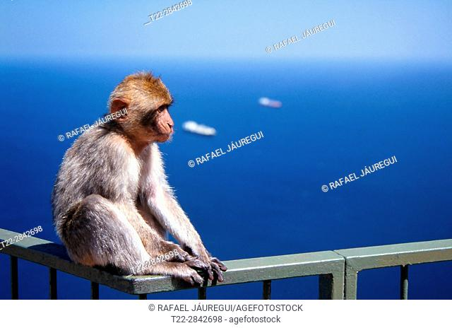 Gibraltar (United Kingdom). Close-up of a Gibraltar Monkey on top of the rock