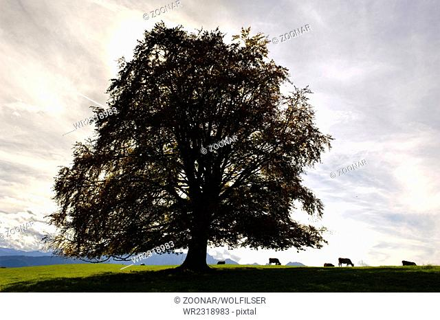 single big old beech tree at autumn