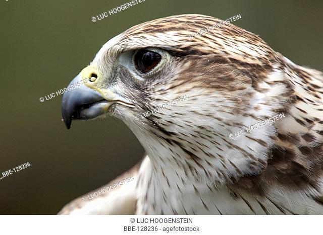 Bird of Prey shows often lead to the escape of birds Here a Saker Falcon