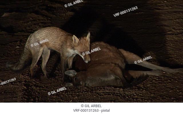 Red fox Vulpes vulpes. Alien species. At kangaroo road kill. Australia
