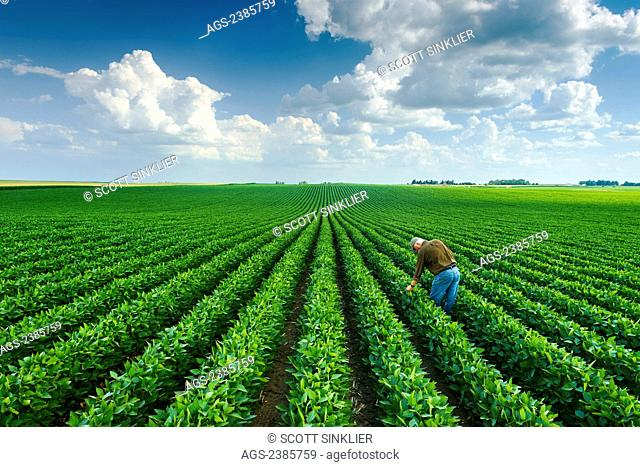 Agriculture - A farmer inspects his mid-season soybean crop in early summer / Iowa, USA