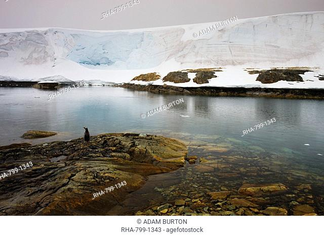 A single gentoo penguin stands on the shoreline, White Island, Antarctic Peninsula, Antarctica, Polar Regions