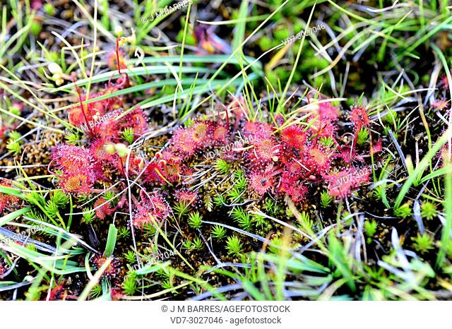 Common sundew or round-leaved sundew (Drosera rotundifolia) is a carnivorous plant with a circumboreal distribution but present in the mountains of central and...
