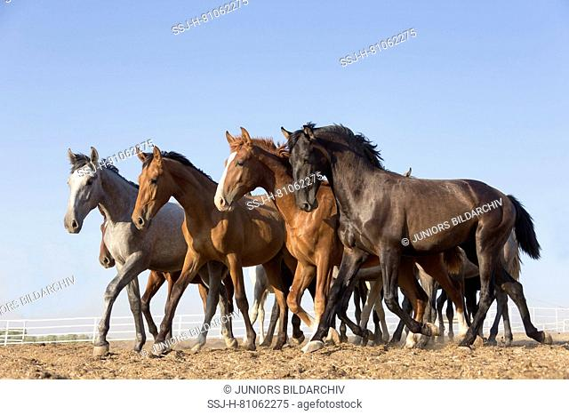 Pure Spanish Horse, Andalusian. Herd of juvenile stallions trotting on dry ground. Spain
